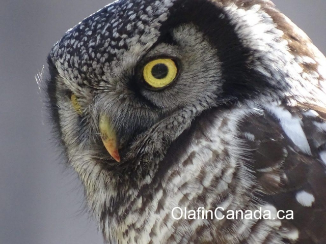 Owl close up #olafincanada #alberta #rockies #wildlife #owl