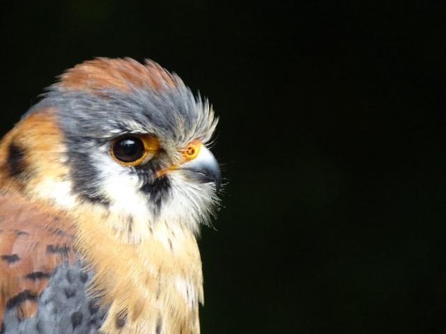 American Kestrel falcon on Vancouver Island #olafincanada #britishcolumbia #discoverbc #wildlife #americankestrelfalcon