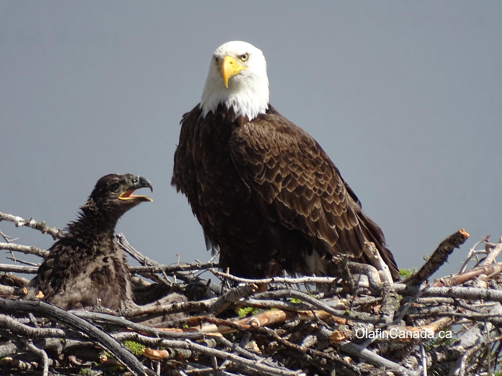 Bald eagle with hungry young on nest next to Okanagan Lake #olafincanada #britishcolumbia #discoverbc #wildlife #baldeagle #okanagan