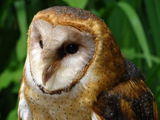 Barn owl on Vancouver Island #olafincanada #britishcolumbia #discoverbc #wildlife #barnowl
