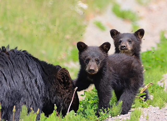 Black bear family near Bella Coola #olafincanada #britishcolumbia #discoverbc #bellacoola #wildlife #grizzlybear