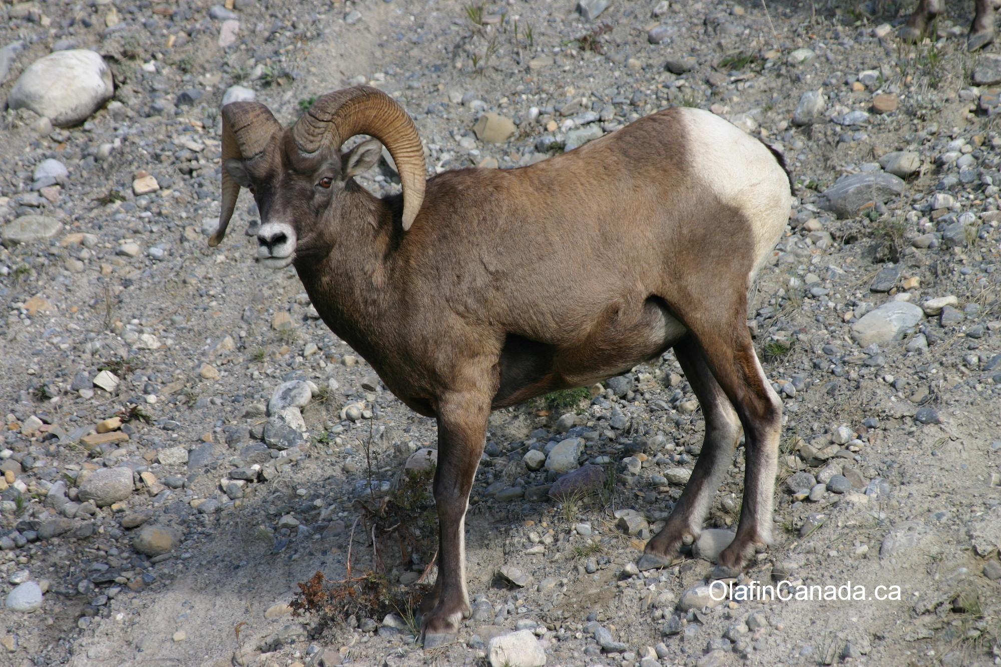 Big horn sheep male #olafincanada #britishcolumbia #discoverbc #wildlife #bighornsheep