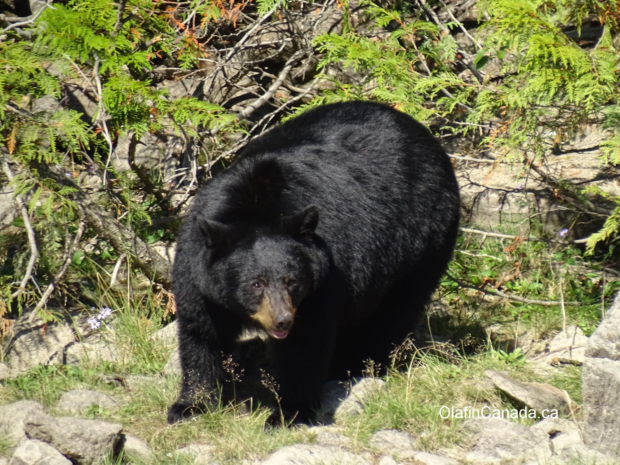 Fat black bear near Blue River #olafincanada #britishcolumbia #discoverbc #wildlife #blueriver #blackbear