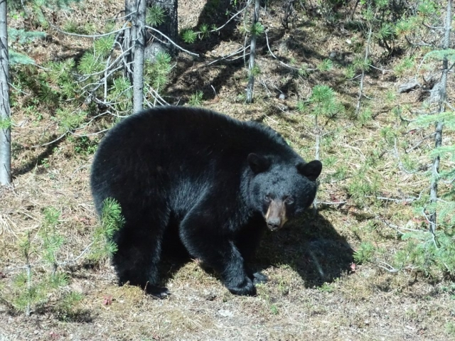 Black bear with shiny fur at Blue River, BC #olafincanada #britishcolumbia #discoverbc #wildlife #blueriver #blackbear