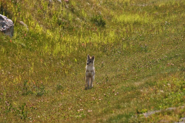 Coyote on the Icefields Parkway in the Canadian Rockies #olafincanada #alberta #rockies #icefieldsparkway #coyote