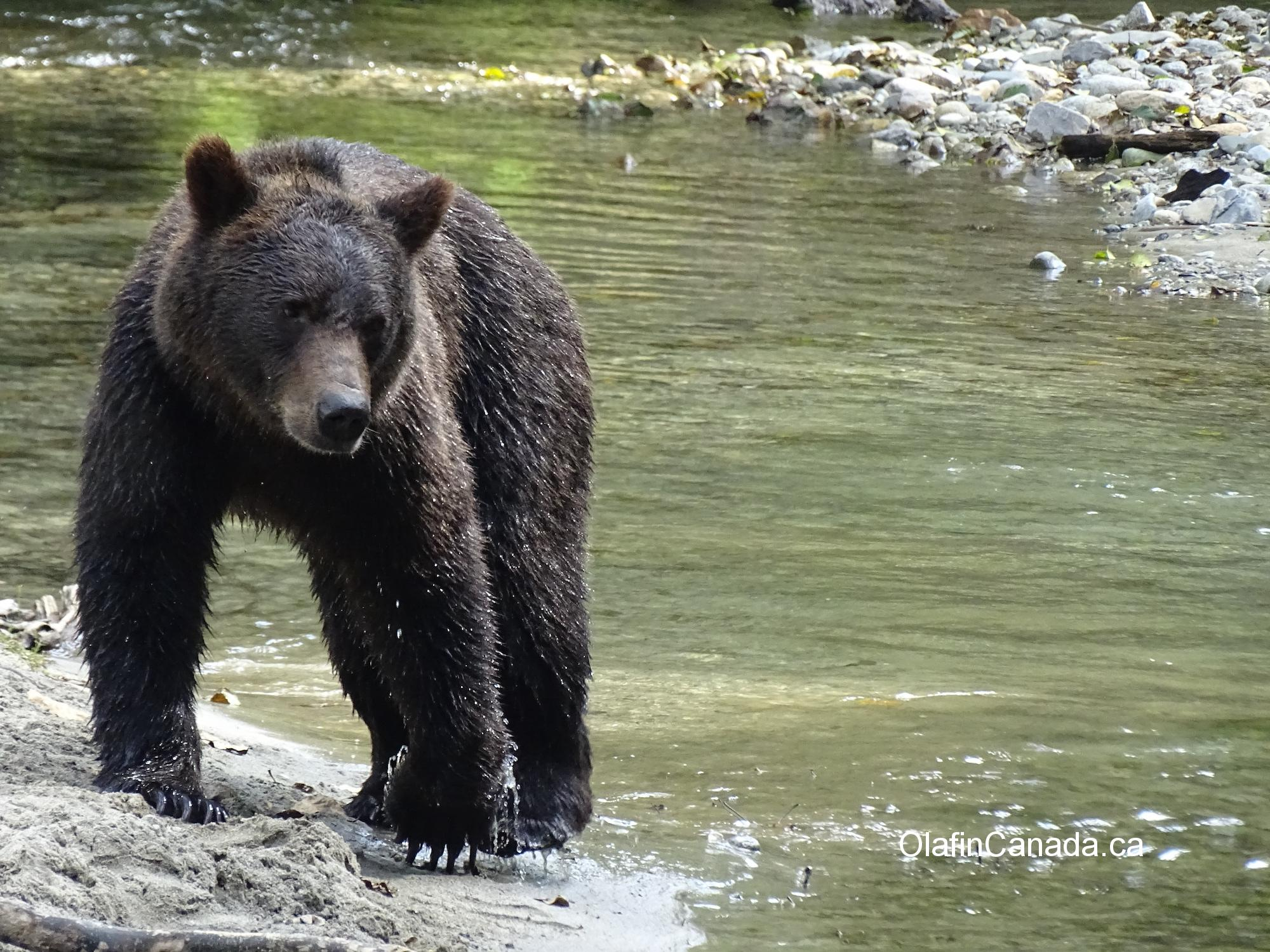 Grizzly on alert in Bute Inlet #olafincanada #britishcolumbia #discoverbc #wildlife #buteinlet #grizzlybear