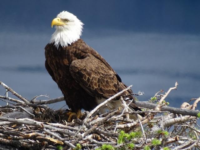 Bald eagle on nest above Okanagan Lake #olafincanada #britishcolumbia #discoverbc #wildlife #baldeagle #okanagan