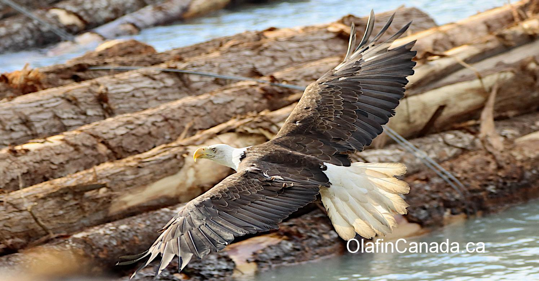 Bald Eagle in the harbour of Bella Coola #olafincanada #britishcolumbia #discoverbc #bellacoola #wildlife #baldeagle