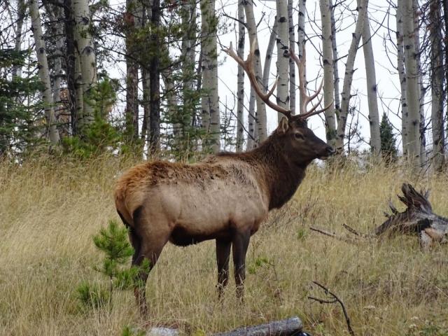 Male elk near Jasper #olafincanada #alberta #rockies #jasper #wildlife #elk
