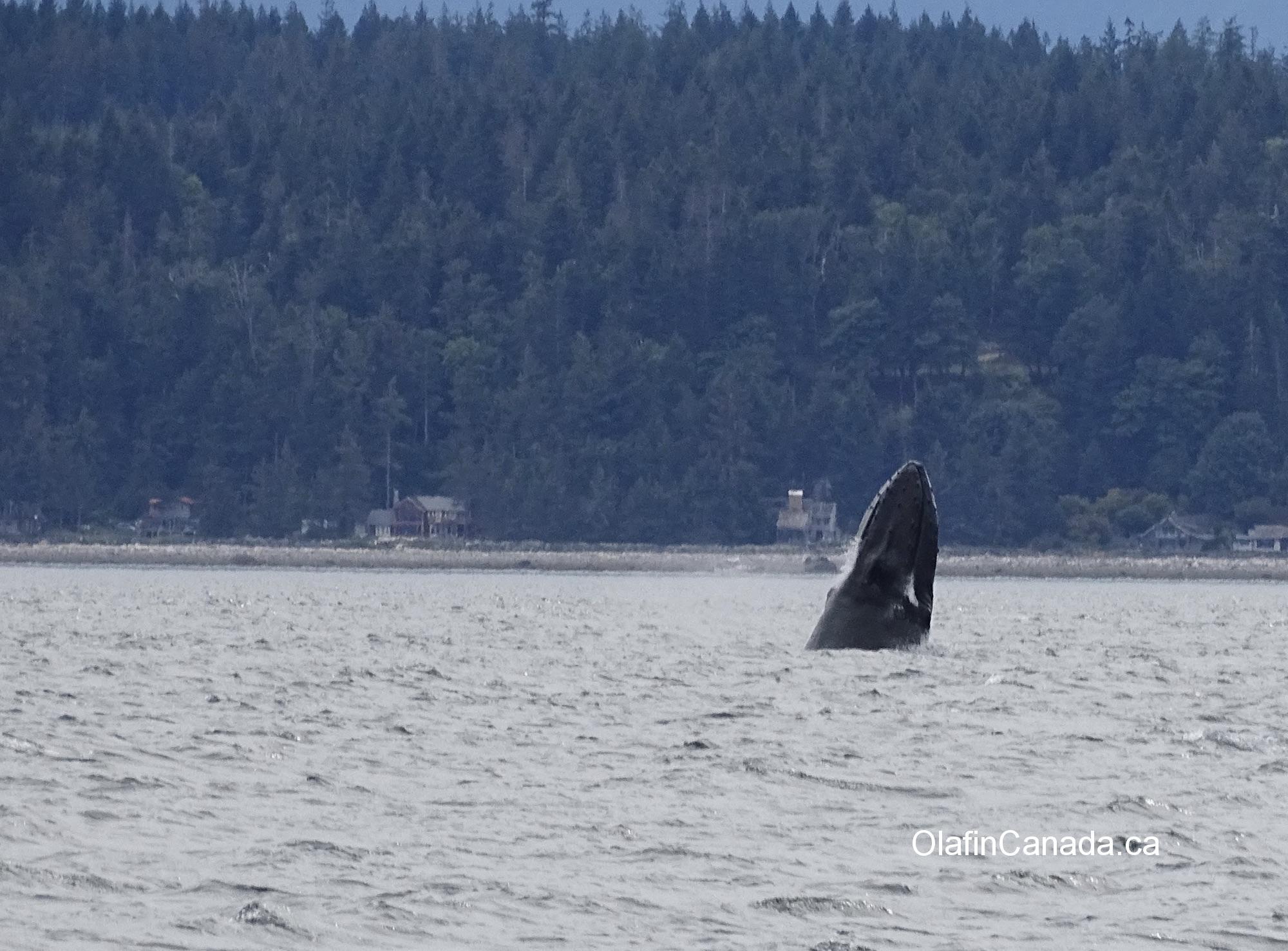 Curious humpback whale near Campbell River #olafincanada #britishcolumbia #discoverbc #wildlife #campbellriver #humpbackwhale