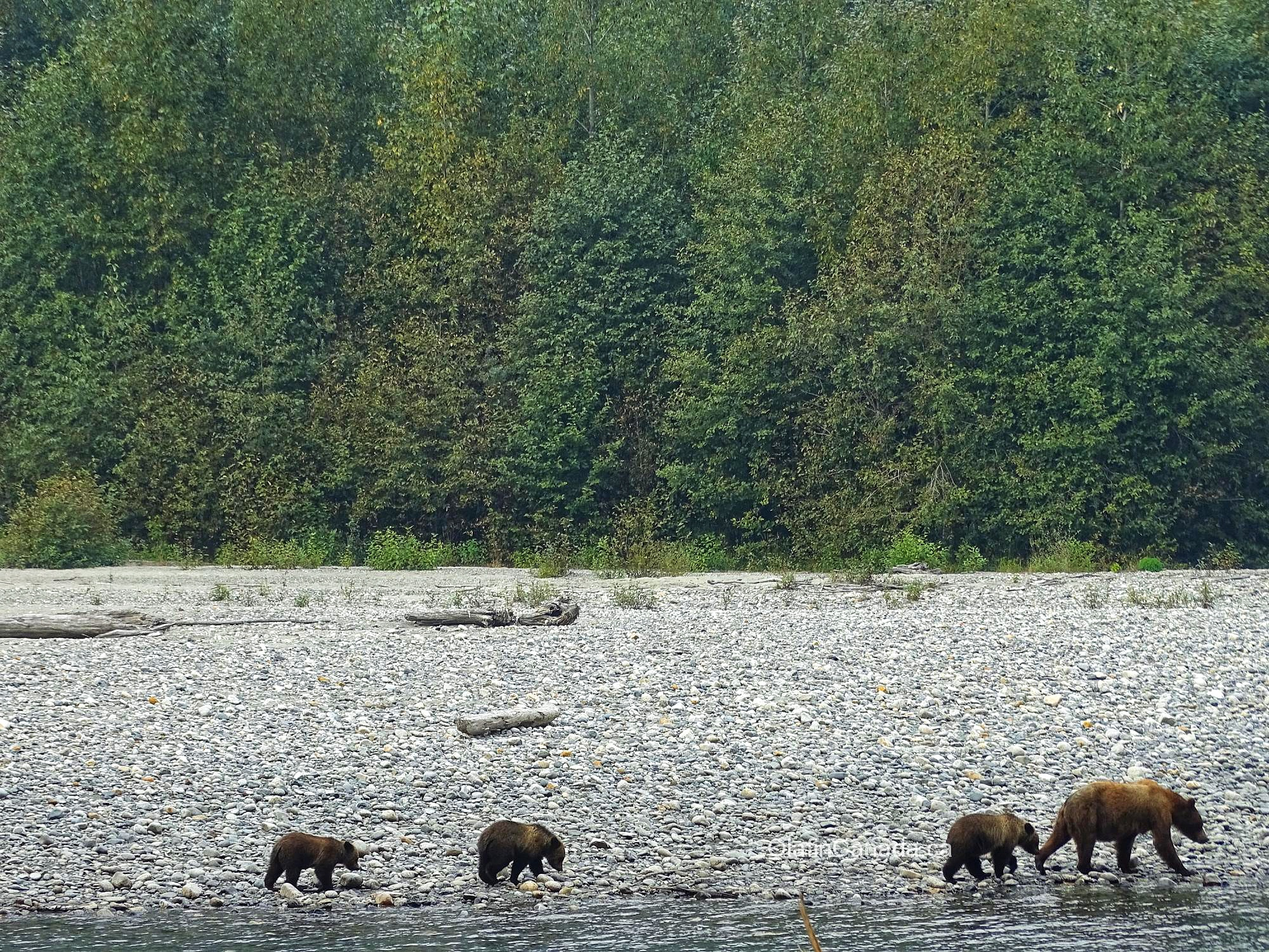 Grizzly family alongside Homathco River in Bute Inlet #olafincanada #britishcolumbia #discoverbc #buteinlet #wildlife #grizzlybear