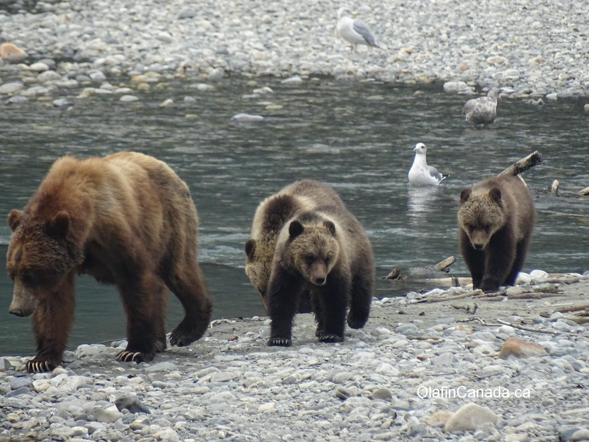 Grizzly family in Bute Inlet #olafincanada #britishcolumbia #discoverbc #wildlife #buteinlet #grizzlybear