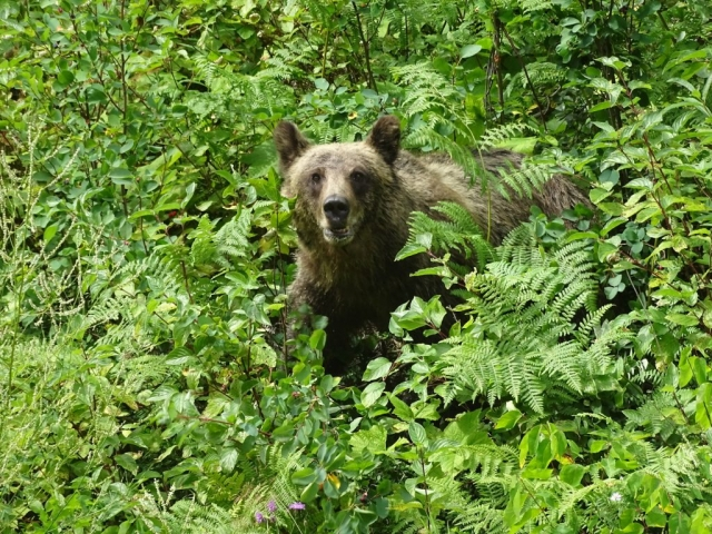 Grizzly bear in the Valley of the Ghosts #olafincanada #britishcolumbia #discoverbc #wildlife #grizzlybear