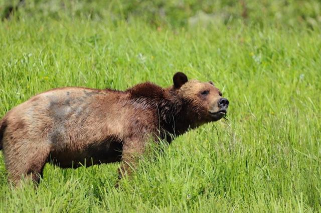 Grizzly in estuary near Terrace #olafincanada #britishcolumbia #discoverbc #buteinlet #wildlife #grizzlybear