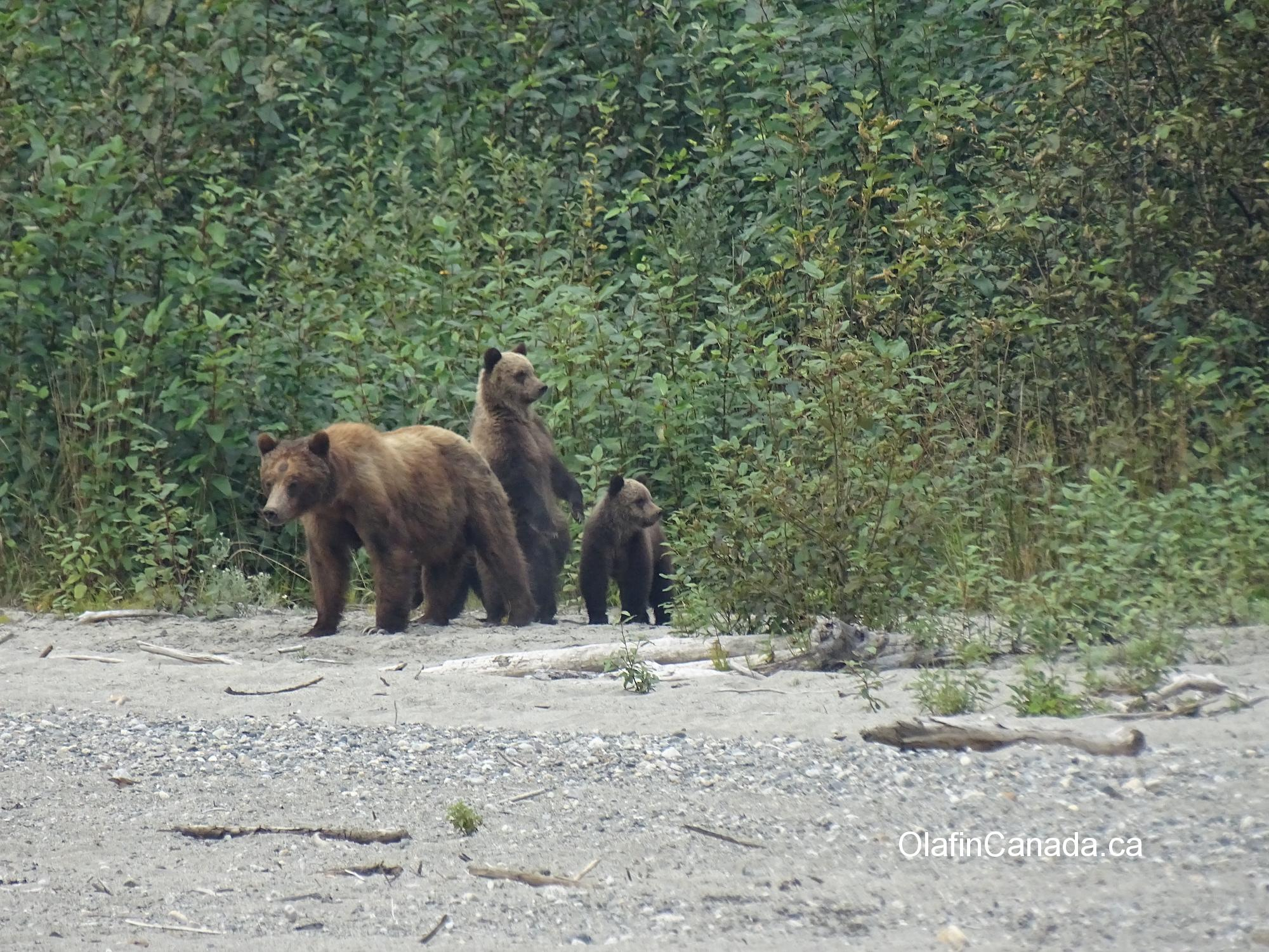 Grizzly family with smallest cub standing, Bute Inlet #olafincanada #britishcolumbia #discoverbc #buteinlet #wildlife #grizzlybear