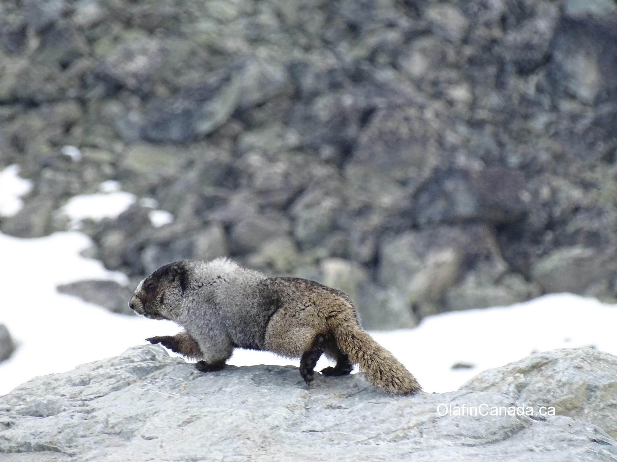 Hoary marmot on top of Whistler Mountain #olafincanada #britishcolumbia #discoverbc #wildlife #whistler #hoarymarmot