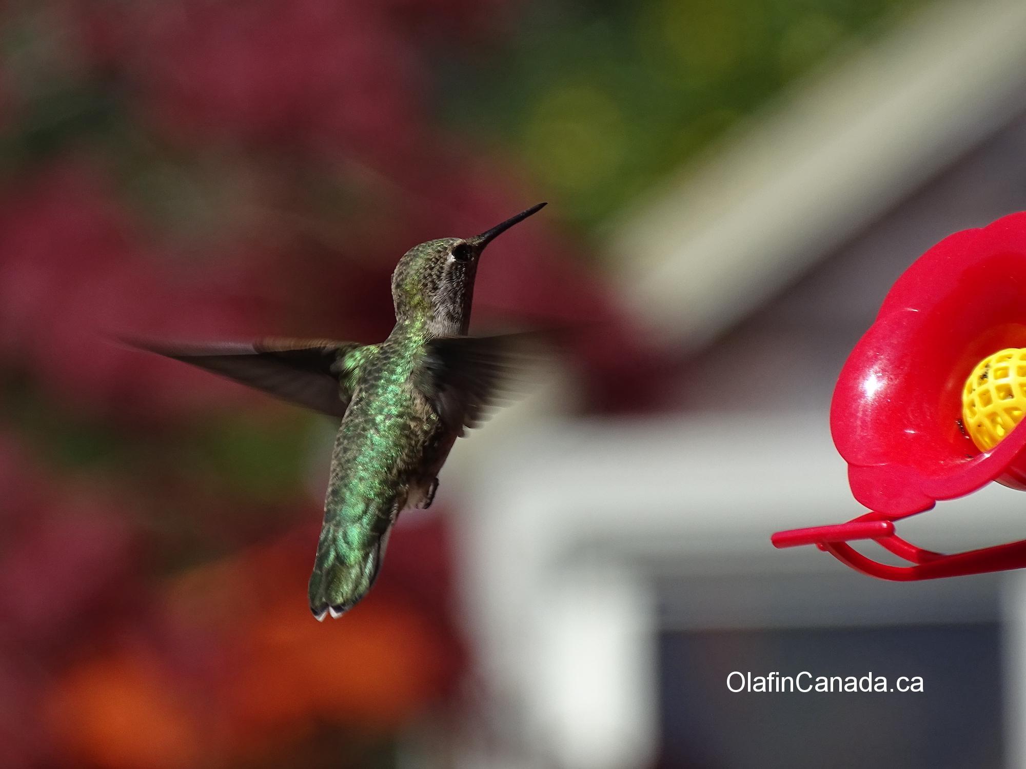 Hummingbird hanging in the air #olafincanada #britishcolumbia #discoverbc #wildlife #hummingbird