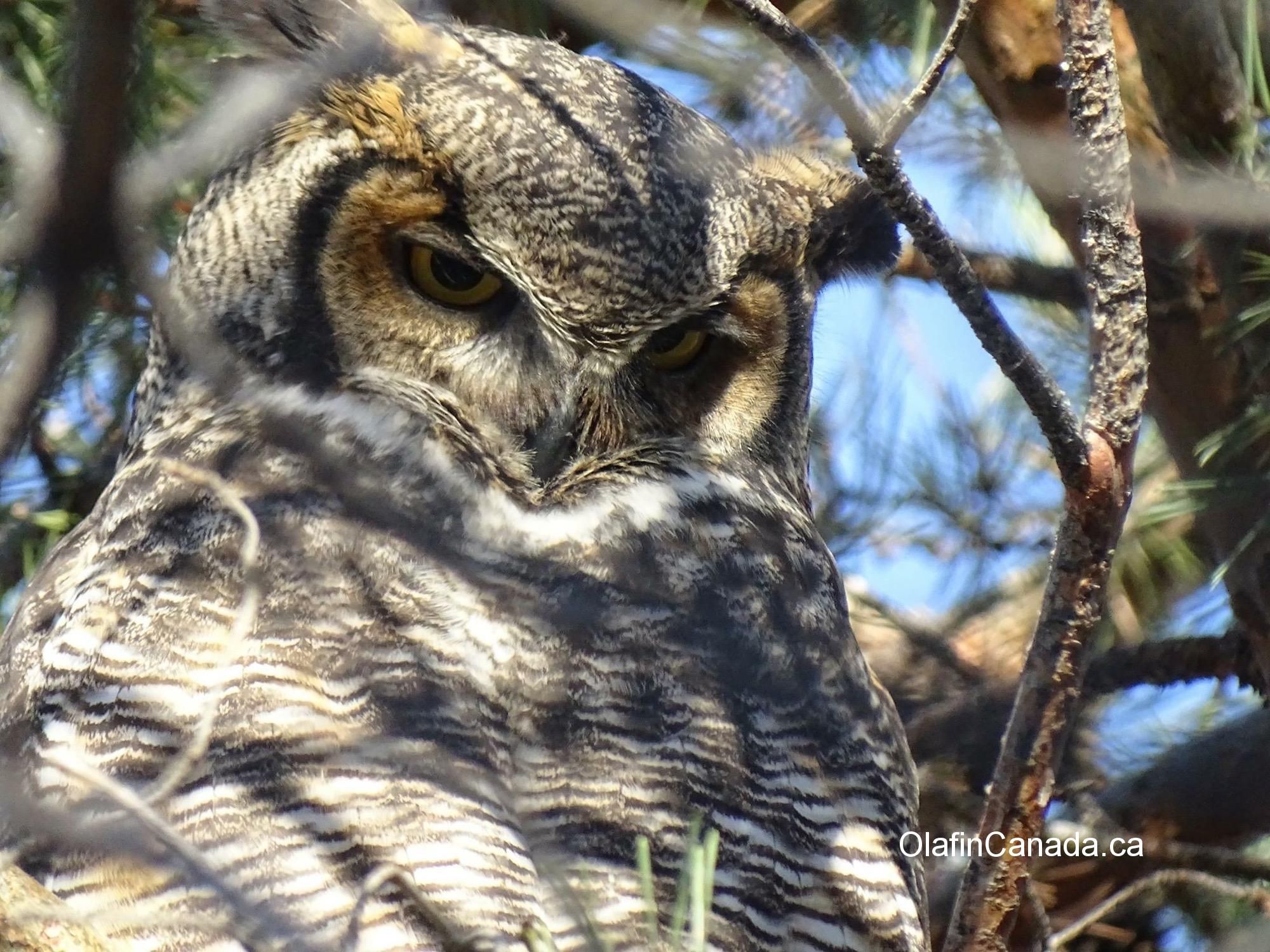 Great horned owl in downtown Kelowna #olafincanada #britishcolumbia #discoverbc #wildlife #greathornedowl