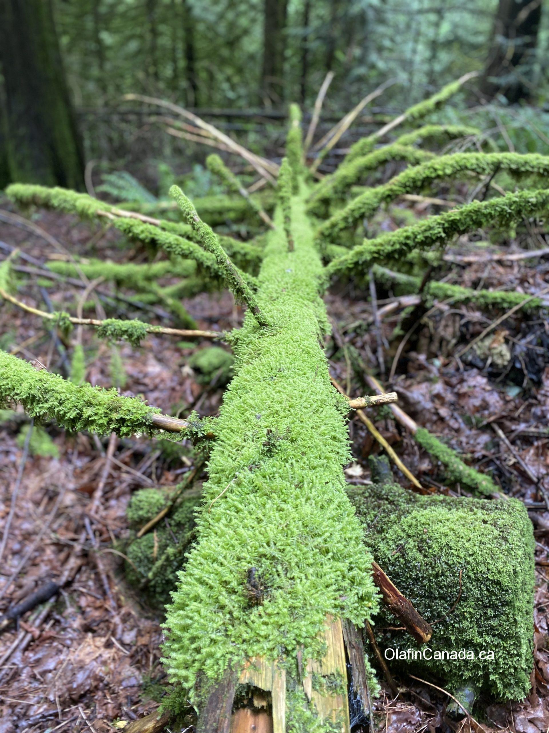Mossy tree trunk #olafincanada #britishcolumbia #discoverbc #woods