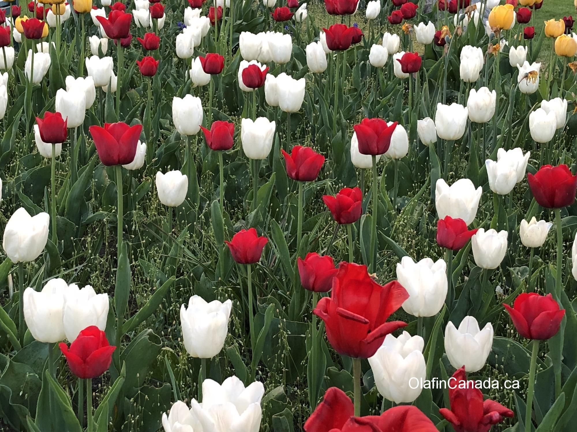 Tulips in Peachland #olafincanada #britishcolumbia #discoverbc #peachland #tulips