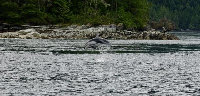 Jumping dolphin near Campbell River #olafincanada #britishcolumbia #discoverbc #wildlife #campbellriver #dolphin