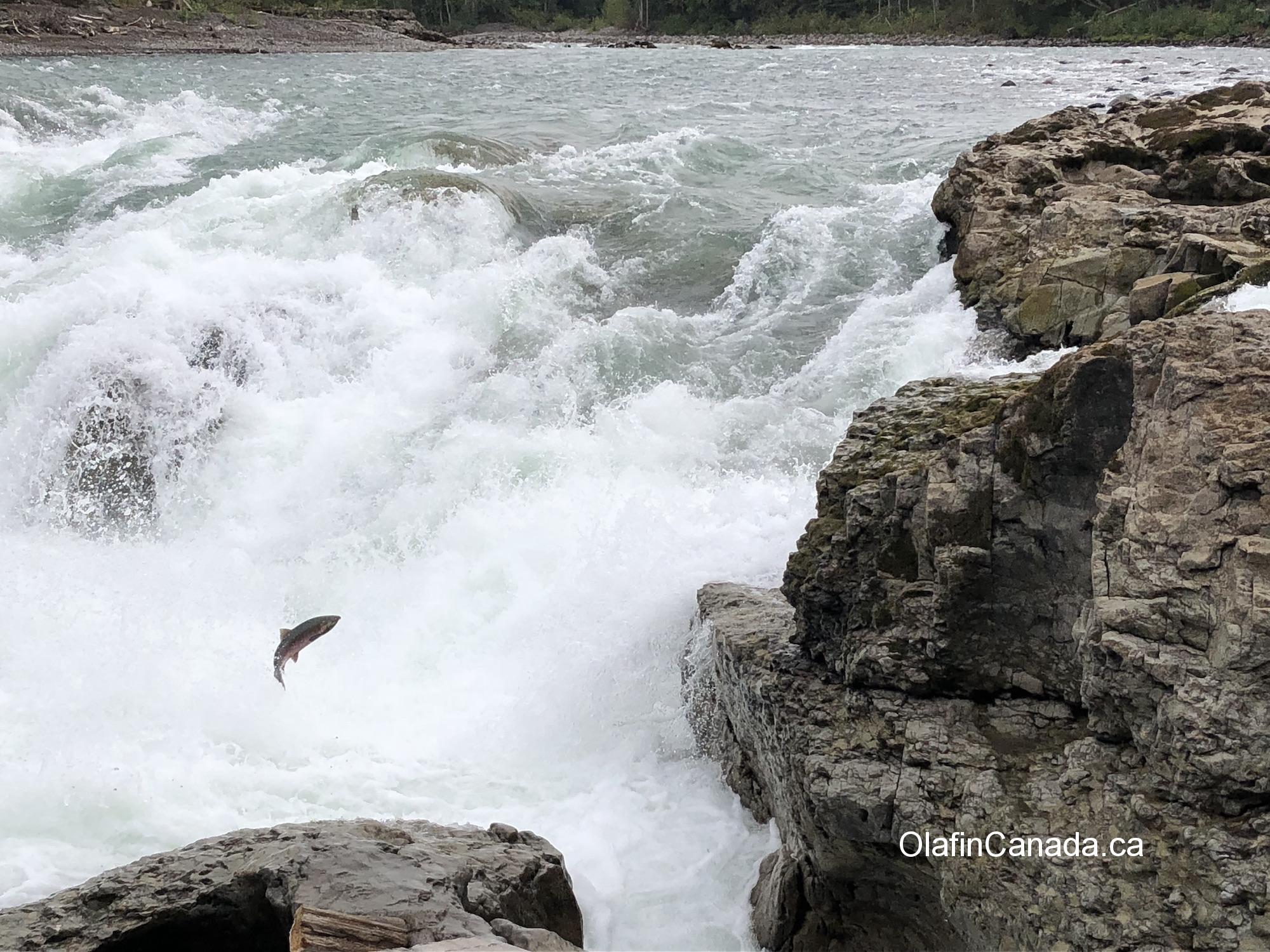 Jumping salmon in Bulkley River at Moricetown #olafincanada #britishcolumbia #discoverbc #wildlife #moricetown #salmon