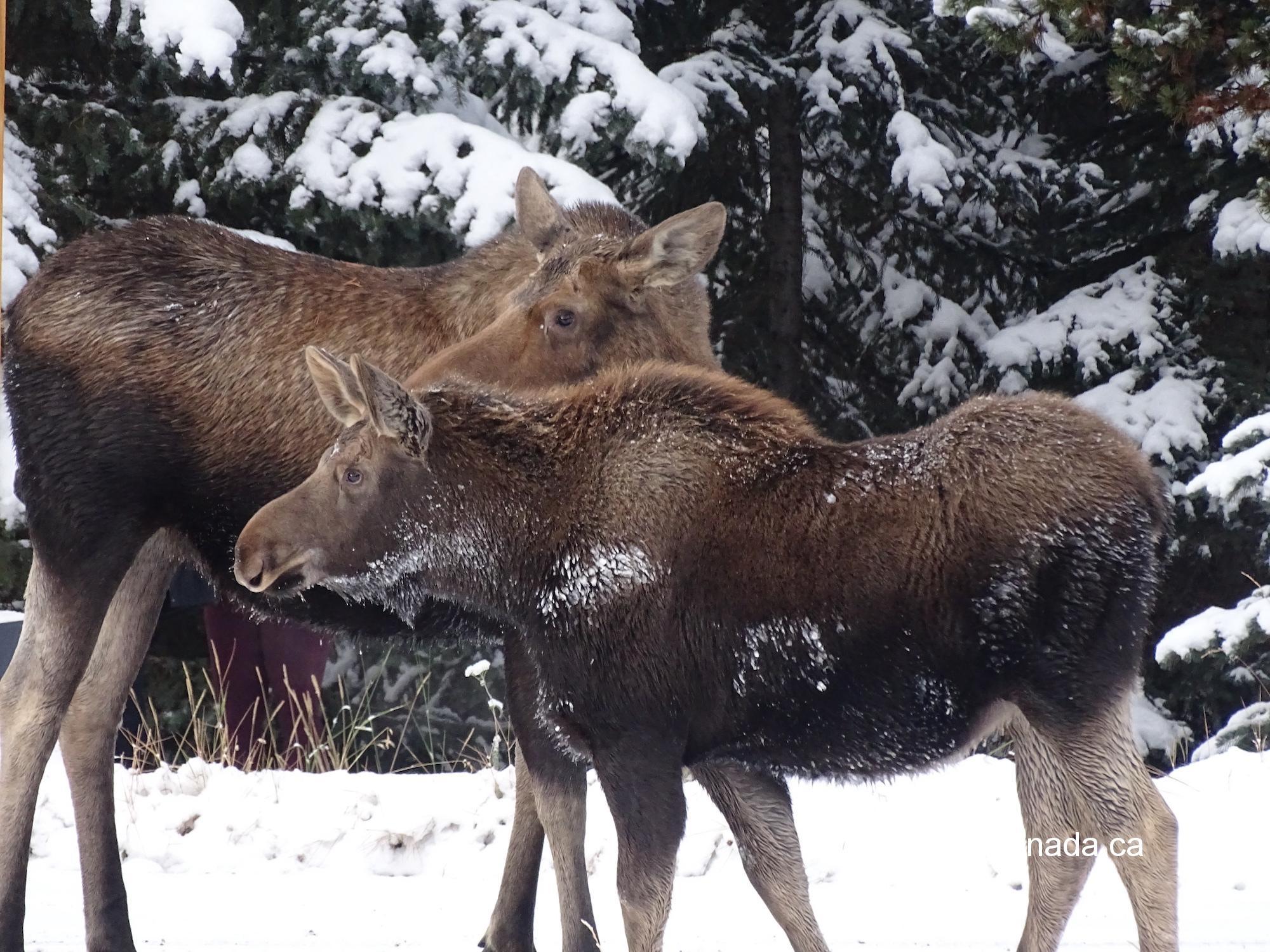 Moose with calf at Maligne Lake near Jasper AB #olafincanada #alberta #rockies #jasper #wildlife #moose