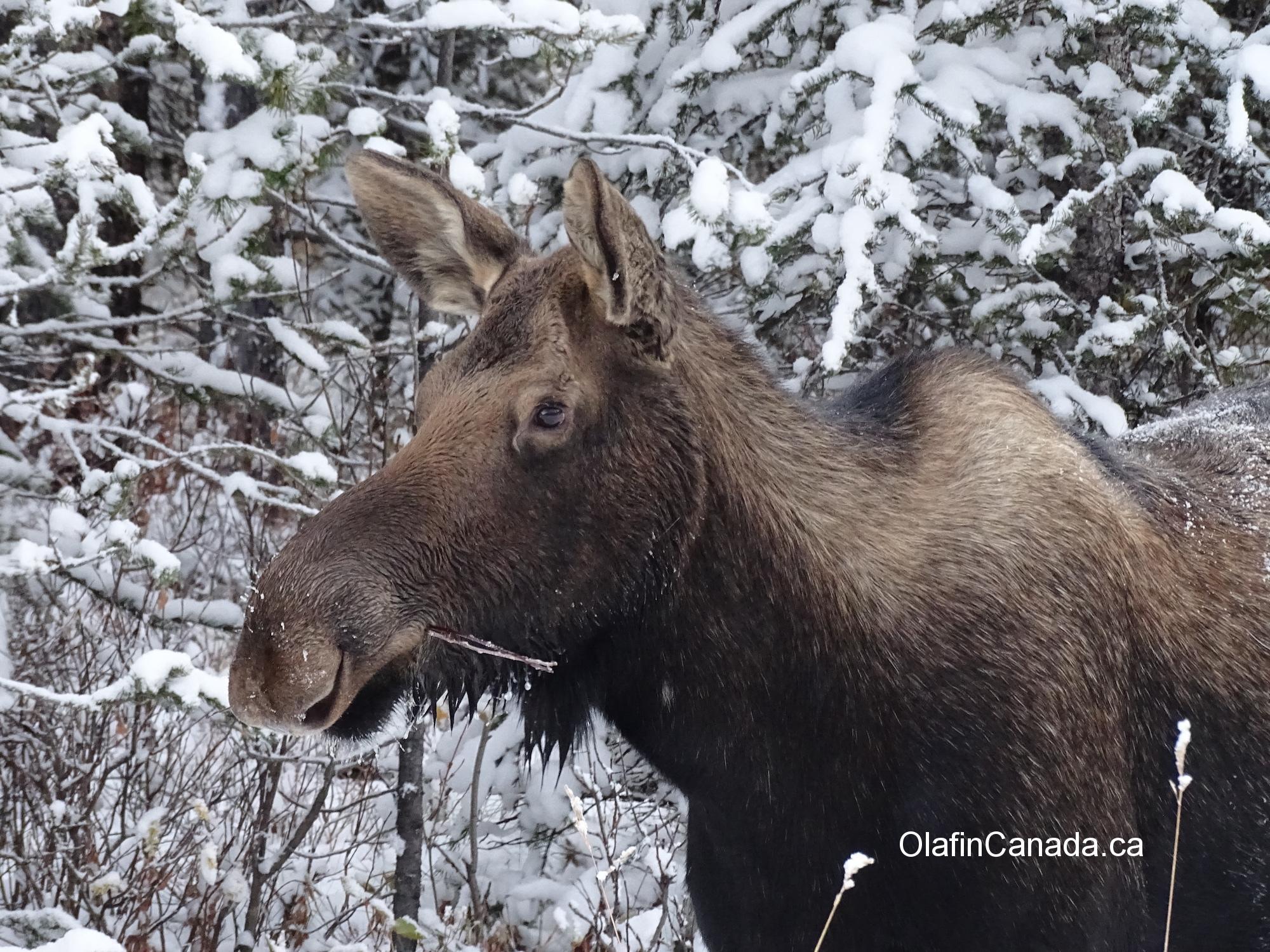 Moose on Maligne Lake road near Jasper AB #olafincanada #alberta #rockies #jasper #wildlife #moose