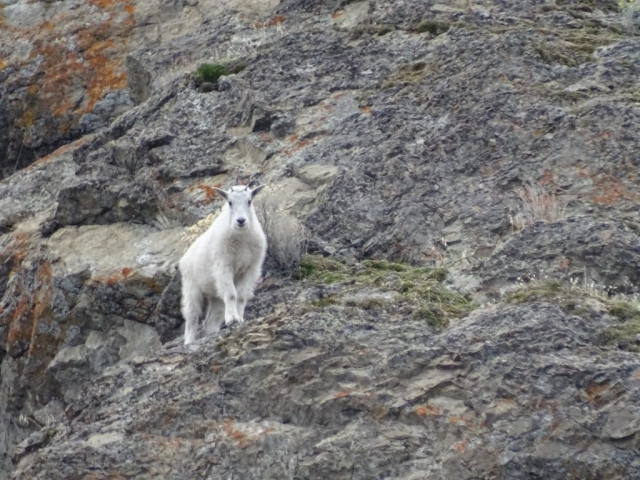 Mountain goat on rock near Summerland, Hwy 97 #olafincanada #britishcolumbia #discoverbc #wildlife #summerland #mountaingoat