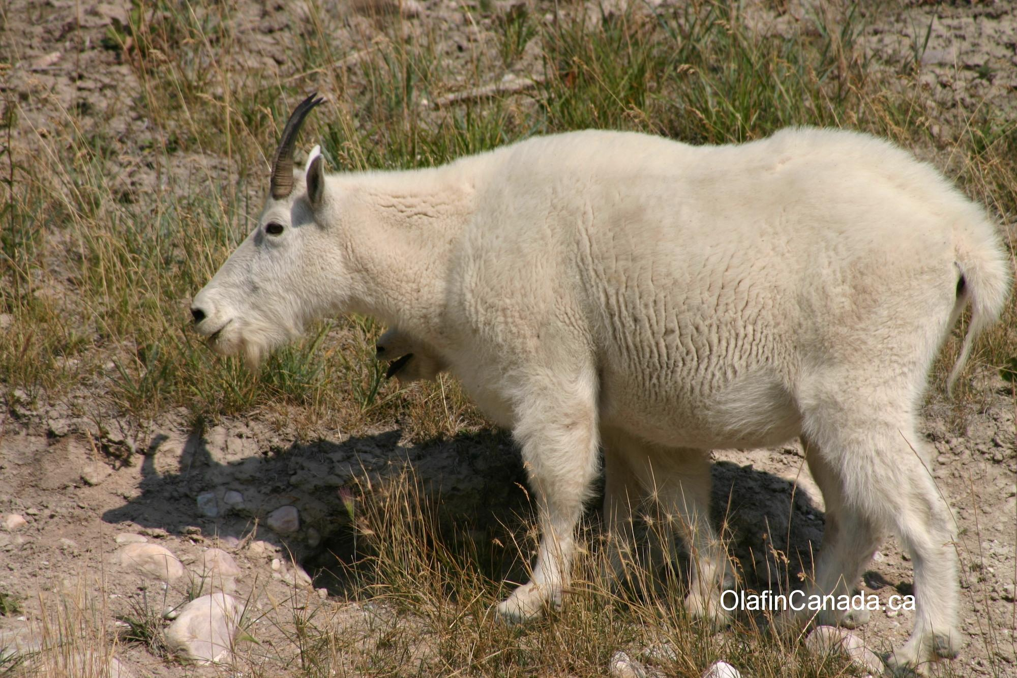 Mountain goat with cub hiding, taken in the Rockies #olafincanada #alberta #rockies #wildlife #mountaingoat