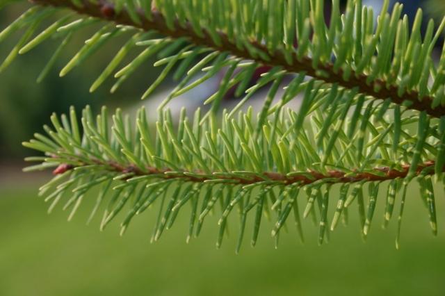 Close-up of needles #olafincanada #britishcolumbia #discoverbc #greenneedles