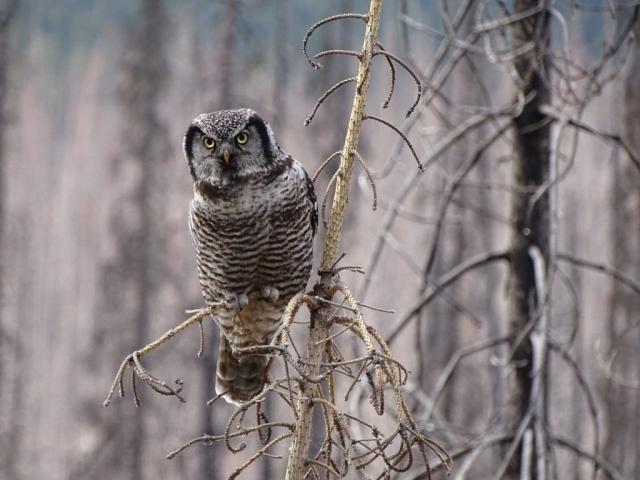 Northern hawk owl at Medicine Lake, Jasper Alberta #olafincanada #alberta #rockies #jasper #wildlife #owl