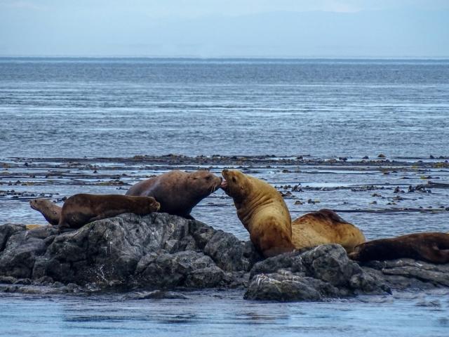 Sea lions near Victoria, BC #olafincanada #britishcolumbia #discoverbc #wildlife #victoria #sealion