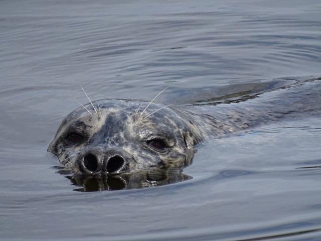 Curious seal at Victoria harbour #olafincanada #britishcolumbia #discoverbc #wildlife #victoria #seal