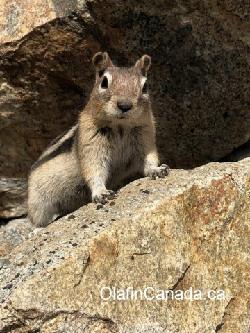 Squirrel at Myra Canyon #olafincanada #britishcolumbia #discoverbc #wildlife #okanagan #squirrel