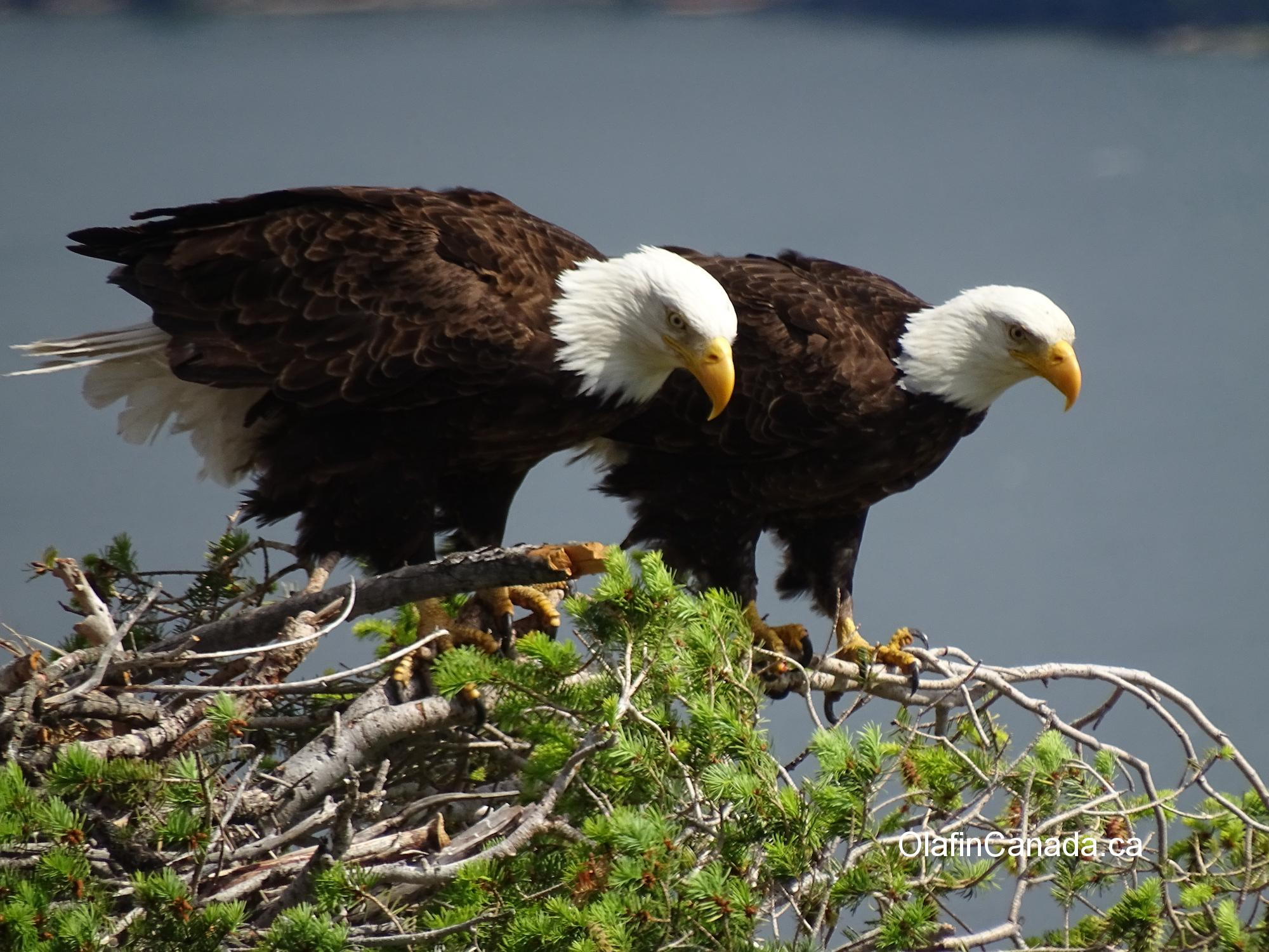 A pair of bald eagles on their nest above the Okanagan Lake #olafincanada #britishcolumbia #discoverbc #wildlife #baldeagle #okanagan