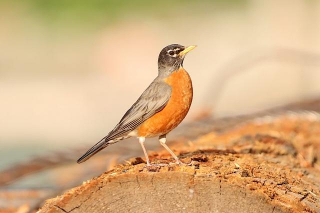 Robin bird #olafincanada #britishcolumbia #discoverbc #bird #robin #wildlife