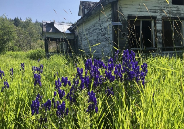 Purple monkshood in front of abandoned house on Clearwater Valley Road in Wells Gray Park #olafincanada #britishcolumbia #discoverbc #abandonedbc #clearwater