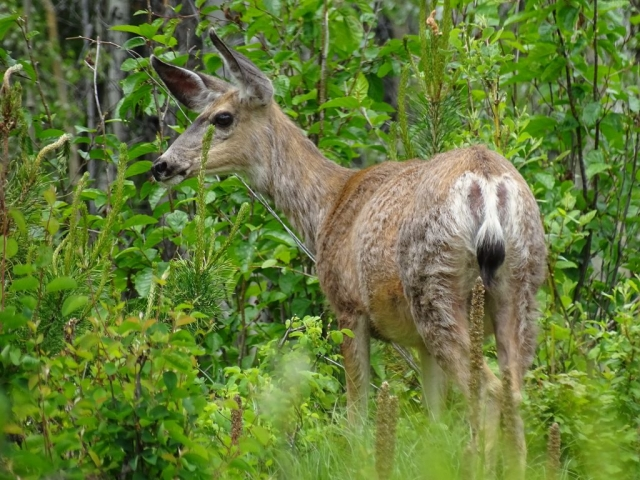 White tail on alert, next to the road in BC #olafincanada #britishcolumbia #discoverbc #wildlife #deer