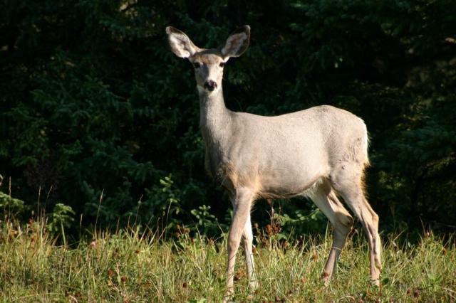 White tail deer on alert #olafincanada #britishcolumbia #discoverbc #wildlife #deer
