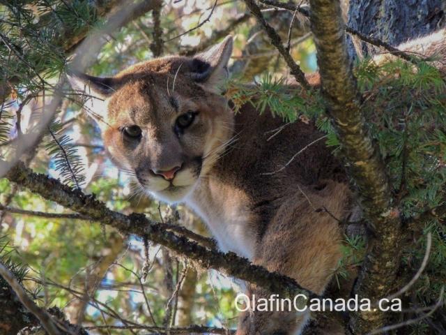 Cougar chased into a tree near Kelowna #olafincanada #britishcolumbia #discoverbc #wildlife #kelowna #cougar