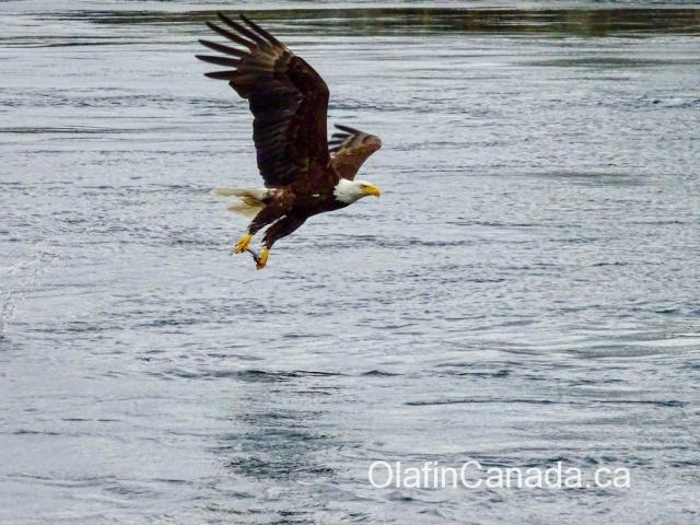 Bald eagle grabbing a fish near Campbell River #olafincanada #britishcolumbia #discoverbc #wildlife #campbellriver #baldeagle
