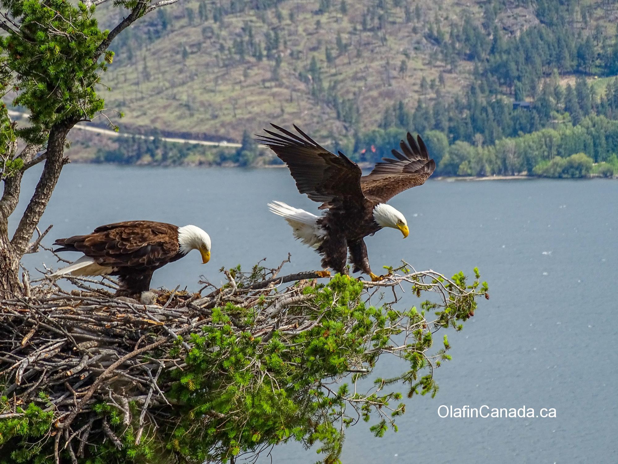 Bald eagle parents in West Kelowna #olafincanada #britishcolumbia #discoverbc #wildlife #baldeagle #okanagan