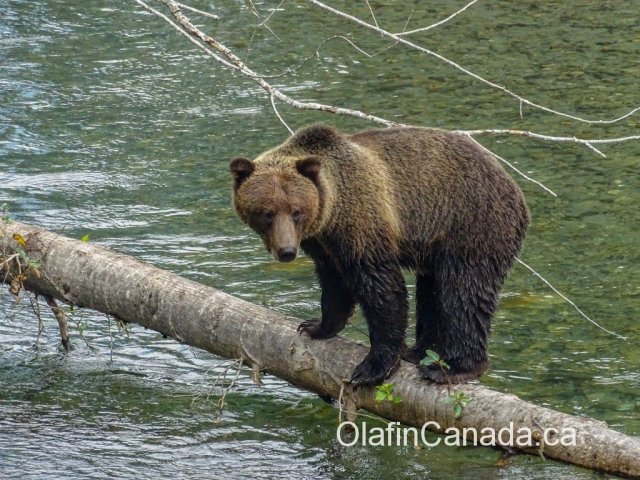 Big grizzly bear balancing on a tree in Bute Inlet #olafincanada #britishcolumbia #discoverbc #buteinlet #wildlife #grizzlybear