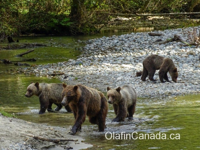 Grizzly family in Bute Inlet, BC #olafincanada #britishcolumbia #discoverbc #buteinlet #wildlife #grizzlybear