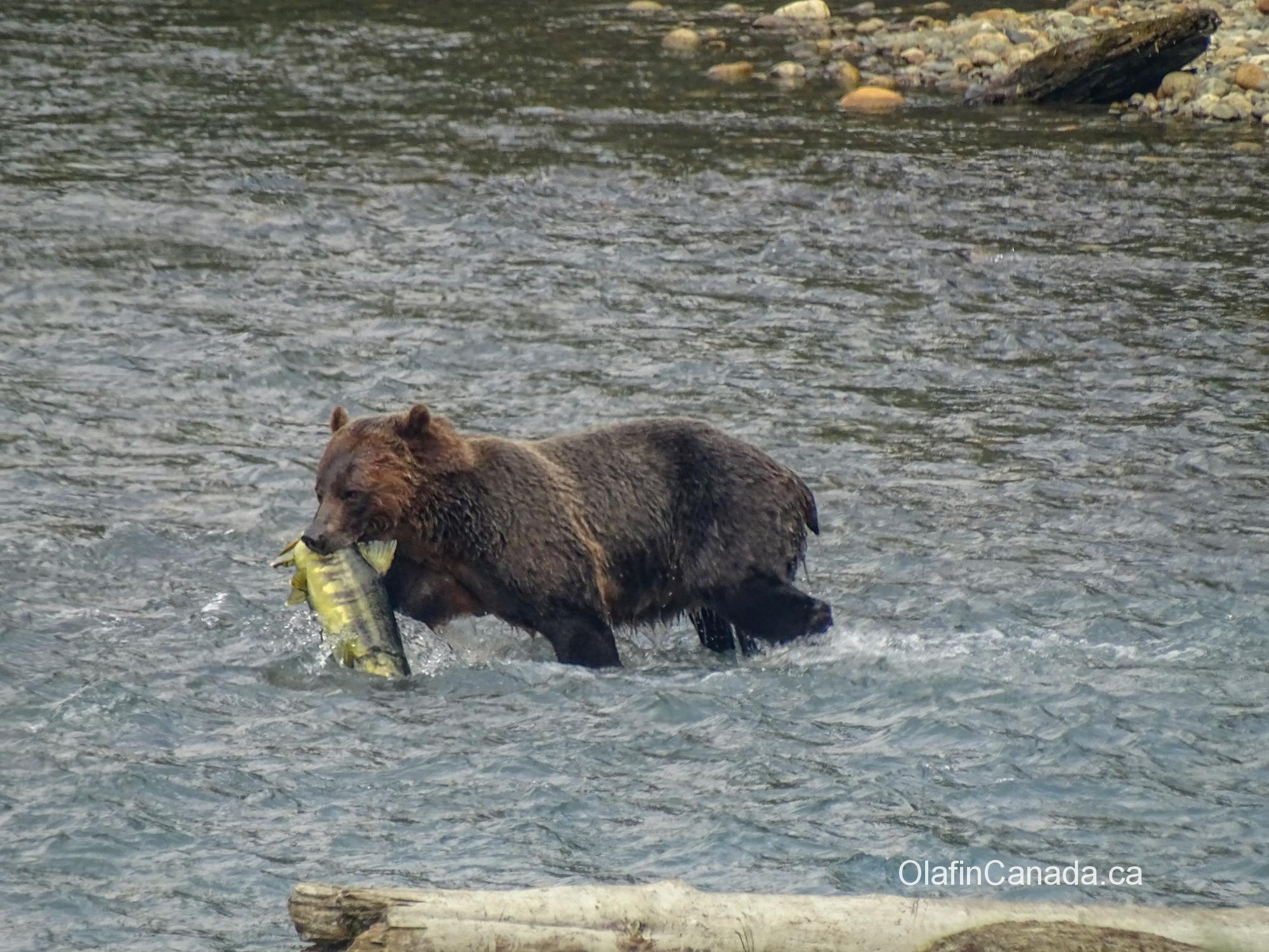 Grizzly catching a huge salmon in Bute Inlet #olafincanada #britishcolumbia #discoverbc #buteinlet #wildlife #grizzlybear