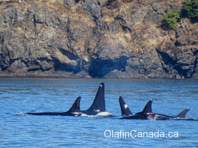 Resident Killer Whales near Victoria #olafincanada #britishcolumbia #discoverbc #wildlife #victoria #killerwhale
