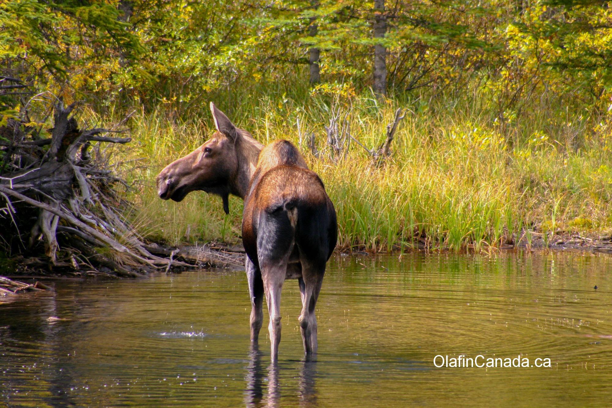 Moose in Kananaskis #olafincanada #alberta #rockies #wildlife #moose