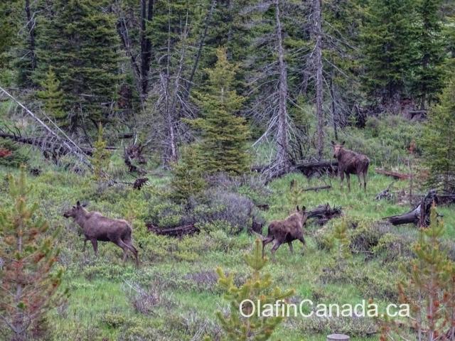 Female moose alongside the Connector near West Kelowna #olafincanada #britishcolumbia #discoverbc #wildlife #moose