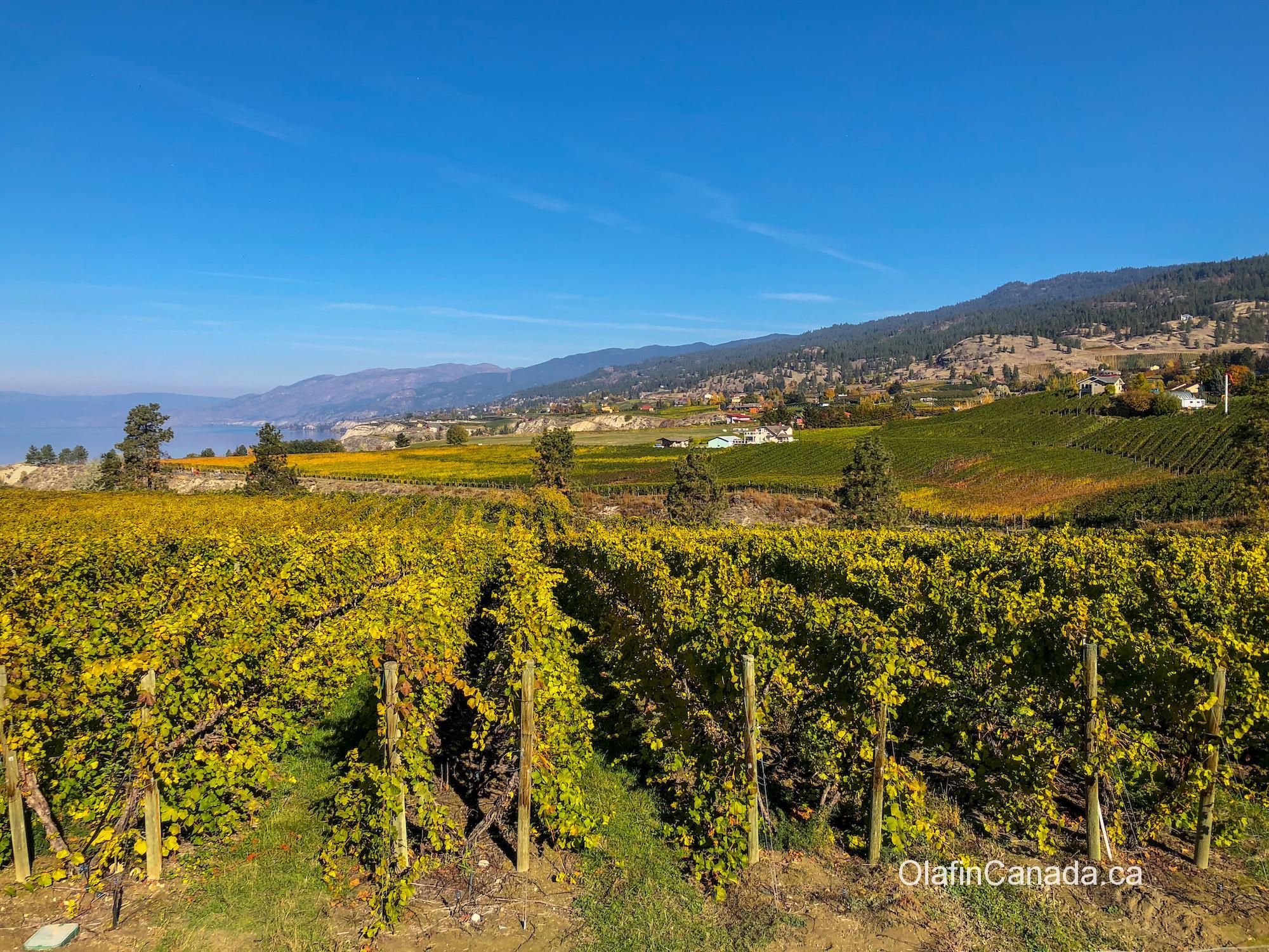 Vines in Naramata in the Okanagan Valley and Lake #olafincanada #britishcolumbia #discoverbc #okanaganvalley #naramata #wine